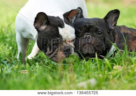 two dogs French bulldogs in the summer on a nature walk and communicate with each other