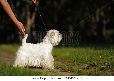 dog breed West highland white Terrier standing in show position in the Park before the show with handlers
