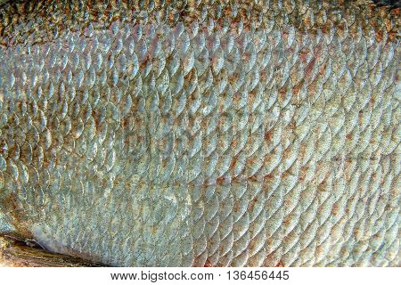 Close Up View Of Common Bream Fish Just Taken From The Water. Common Bream Fish Scales As Natural Ba