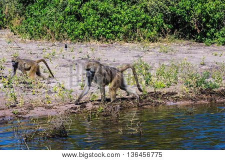 Botswana, Chobe National Park on the Zambezi River. Couple monkey - baboon looking for food on the River