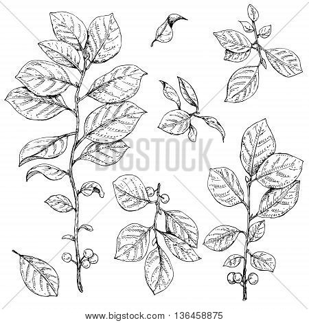 Hand drawn buckthorn branches with leaves and berries. Vector sketch of plants.