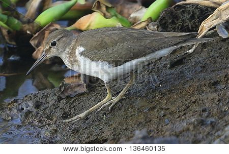 Common Sandpiper on shore of irrigation canal, swamp near Songkhla, Thailand
