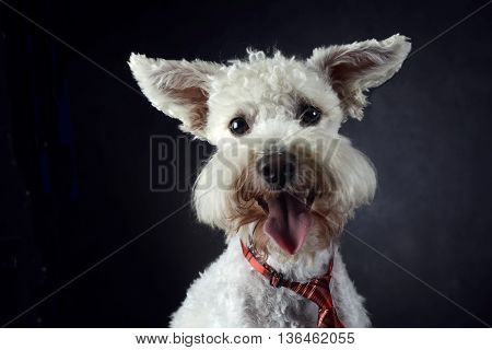 Funny Dog With Flying Ears Portrait In Dark Photo Studio