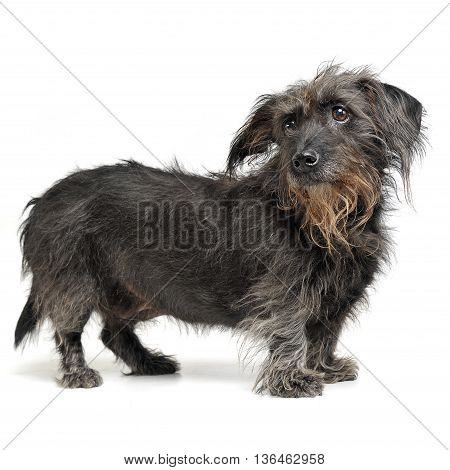 Wired Hair Mixed Breed Dog In A White Studio