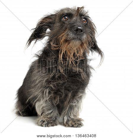 wired hait dachshund sitting in a white photo studio