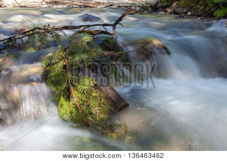 Coniferous tree branch in the fast mountain river