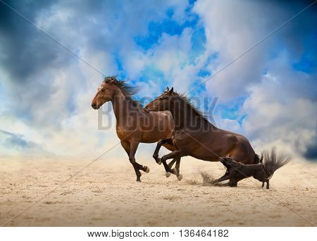 two brown horses run with the dog on the sand on the blue sky and clouds background