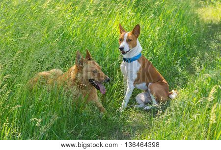 Two young friends (basenji right and mixed breed dog left) having rest in the morning spring grass