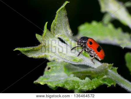 Nocturnal little beetle is ready to eat that fresh leaf up