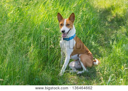 Cute basenji dog having rest in spring grass