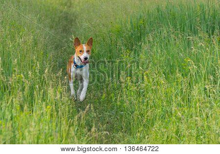 Cute basenji dog running in spring grass