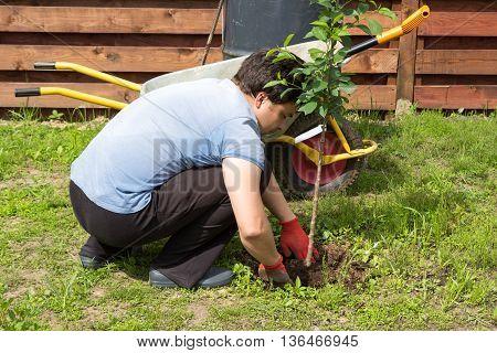 Man Plants A Cherry In Garden