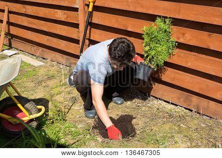 Man Plants Thuja In A Garden