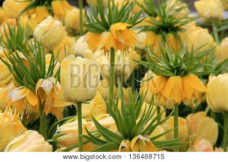 Beautiful garden of tulips, one in impressive and known as Yellow Crown Imperial.