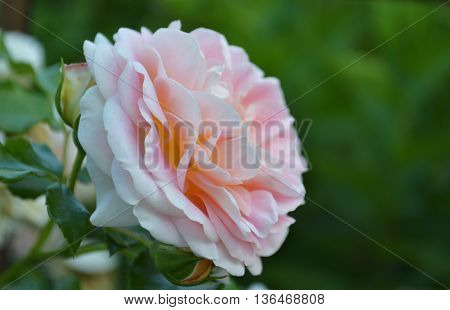 flowering peachy-pink rose on the green background