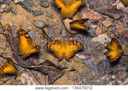 Group Of Vagrant Butterflies