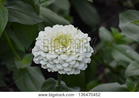 White Zinnia flower blooming in the garden