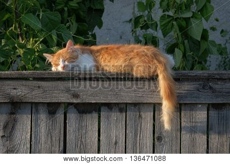 red cat sleeping on the fence