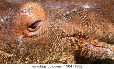 Hippo's Eye In Water