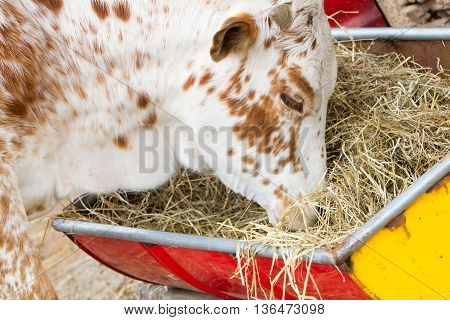 Close Up Of Cow Eating Hay