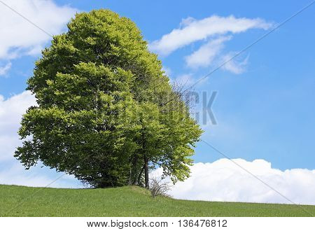 Isolated Tree In The Middle Of The Green Meadow In Summer