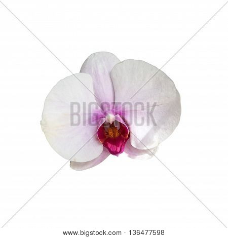 White orchid head close up macro shot isolated on white background