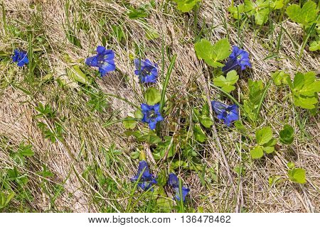 Closeup of Gentiana, alpine flower in intense blue growing on the Alps in Austria, Europe