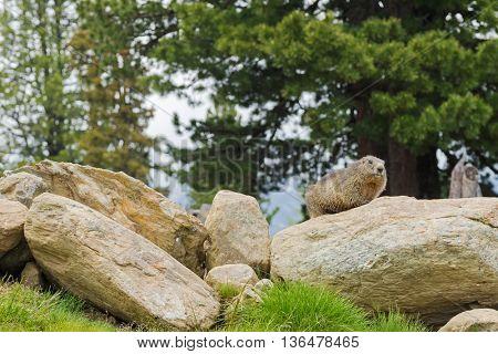 Alpine Marmot sitting on rock during summer in Austria, Europe. Blurred background