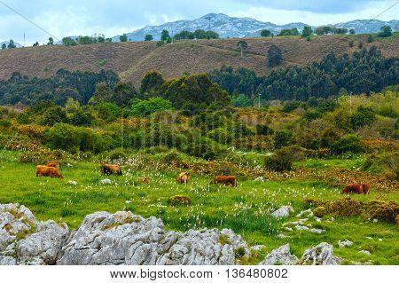 Herd Of Cows On Pastute.