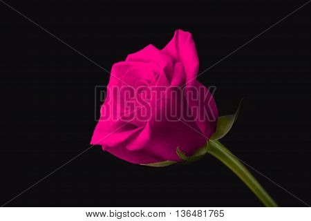 side view of a magenta rose with green stem on black background