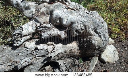 An old wooden stump twisted and contorted.