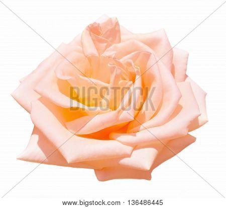 Beautiful Rose flower isolated on white background.