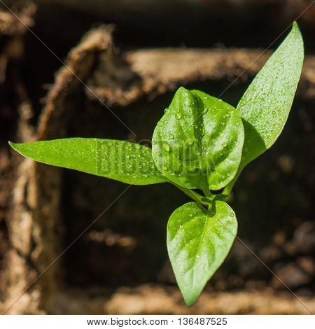 young pepper sprout in a flowerpot at morning