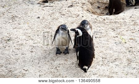 colony of South African black-footed penguins at the Boulders Beach in Simon's Town on the False Bay, Cape Peninsula, parent animal with the kids