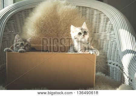 Cute two tabby kittens looking in a box vintage filter