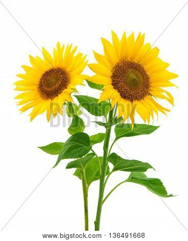 beautiful flower sunflowers on a white background
