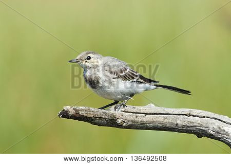 Juvenile White Wagtail (Motacilla alba) resting on a branch in its habitat