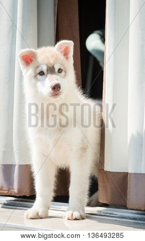 Close up of happy siberian husky puppy standing