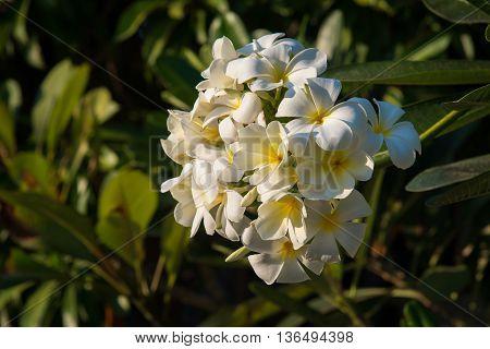 Close up white plumeria on the plumeria tree