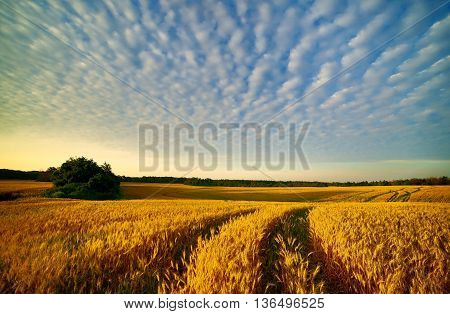 autumn wheat field at morning, golden fall, cloudy sky