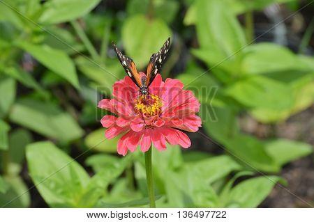 A butterfly on a pink Zinnia flower