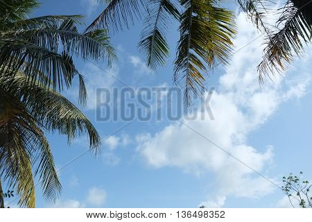coconut leaf on blue sky clouds,plam tree