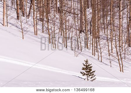 Lonely evergreen tree on a snowy hill next to a forest of winter trees