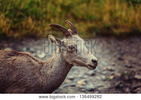 Rocky Mountain Big-Horned Sheep, Banff National Park in Autumn