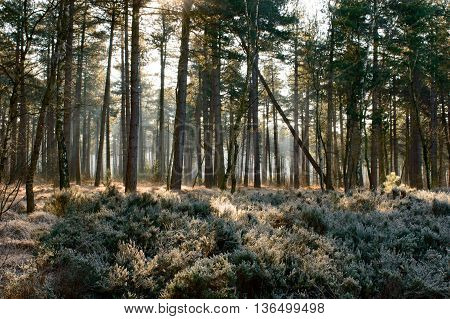 Background of sunlight shining through various forest trees with frost covering shrubs underneath
