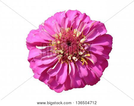 Elegant zinnia pink and yellow flower isolated on white.