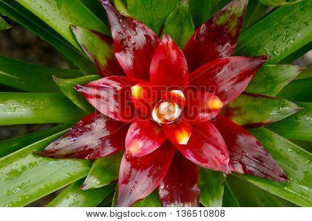 Bromeliad or Urn Plant (Aechmea fasciata)nature background