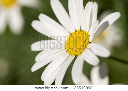 Wild Daisy Flower Close Up Background