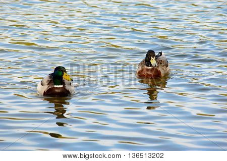Two mallard ducks enjoying a swim in the tranquil water of a lake with rippling water and reflections of the sunlight with copy space