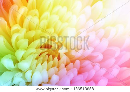 Flower color background. Chrysanthemum flower with vintage color style effect fill in photo. Rainbow color flower.